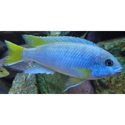 image: Pseudotropheus acei msuli - Jégsügér