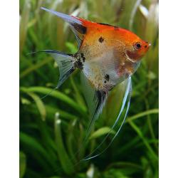 "image: Pterophyllum scalare - Vitorláshal ""Red Devil"""