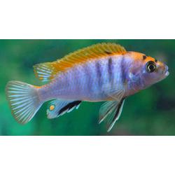 "image: Labidochrmis sp. hongi ""Red"""