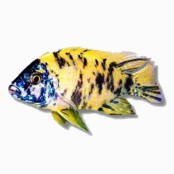 image: Aulonocara sp. calico 4-5 cm