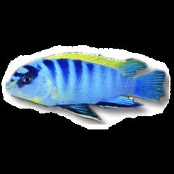 image: Labidochrmis sp. hongi