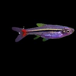 image: Rasbora borapetensis M (vadonfogott)