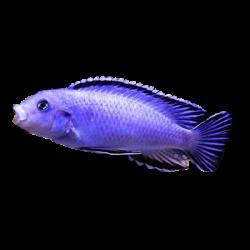image: Pseudotropheus socolofi - Pompás malawisügér