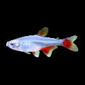 Aphyocharax anisitsi - Vörösúszójú pontylazac