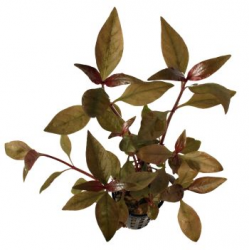 Alternanthera reineckii Purple