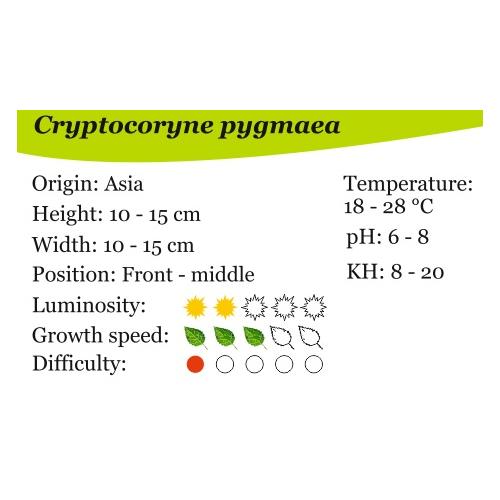 Cryptocoryne pigmea