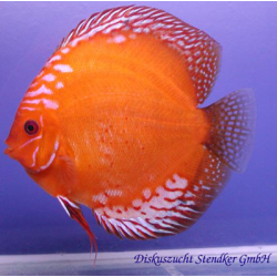 image: Symphysodon - Marlboro Red (STENDKER)!!! 6,5 cm