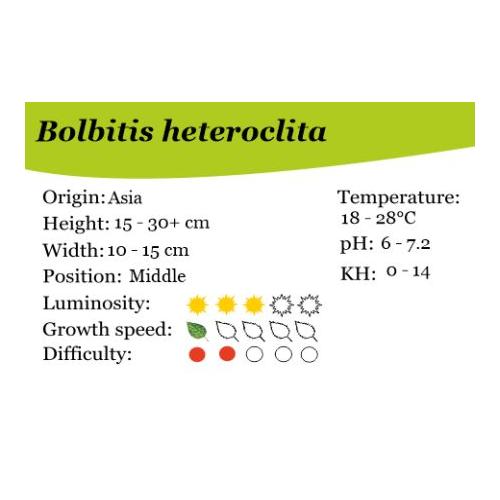 Bolbitis heteroclita