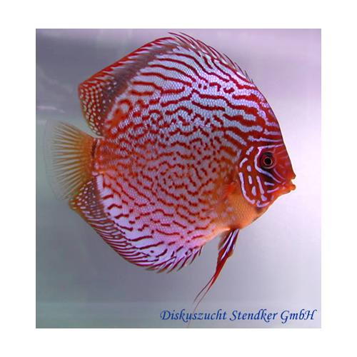 Diszkoszhal Red Scribbelt (STENDKER)!!! 6,5 cm