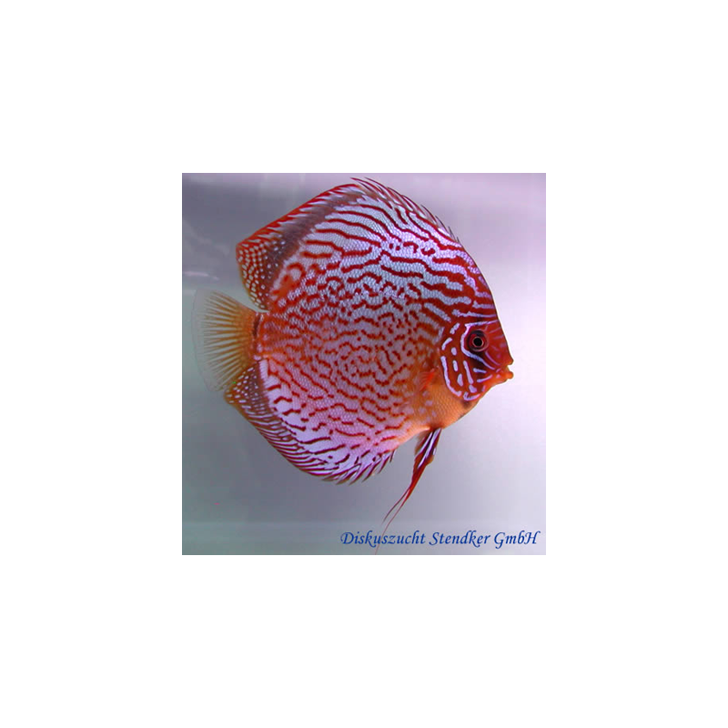 image: Symphysodon - Red Scribbelt (STENDKER)!!! 6,5 cm