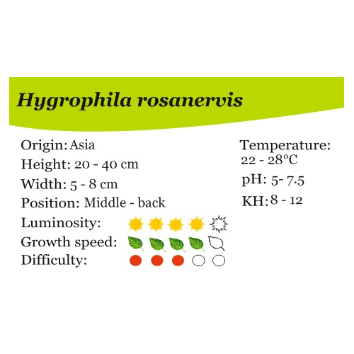 Hygrophila rosanervis
