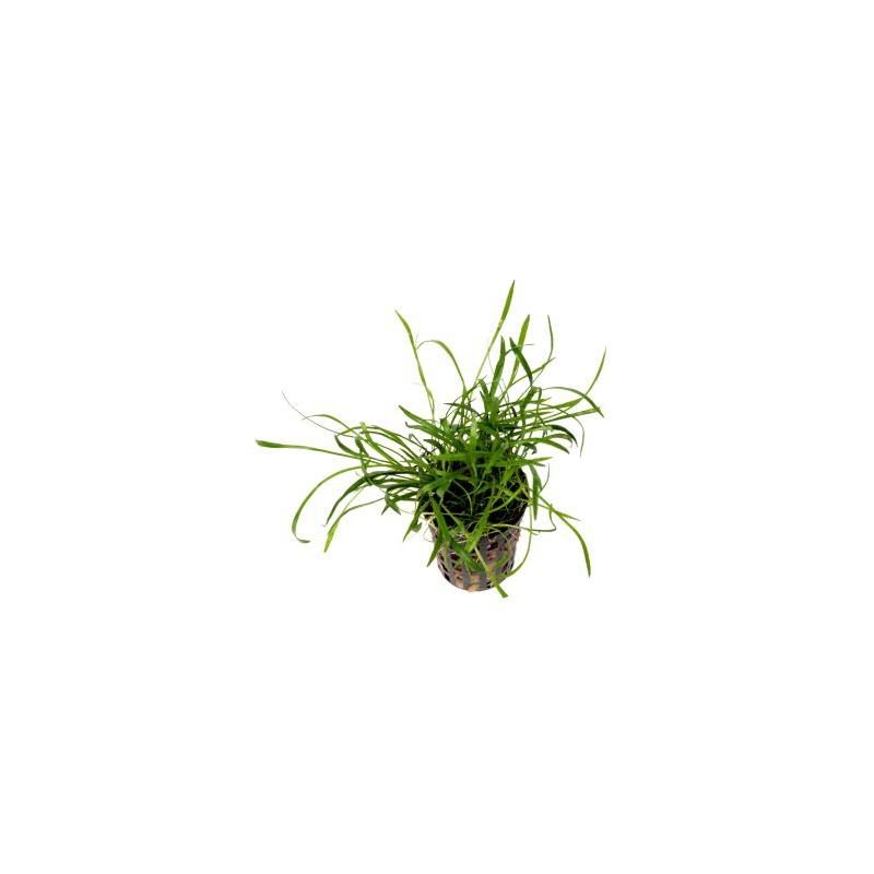 Lileopsis brasiliensis