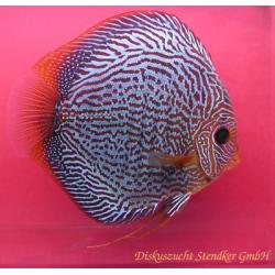 image: Symphysodon - Snake Skin Red (STENDKER)!!! 6,5 cm