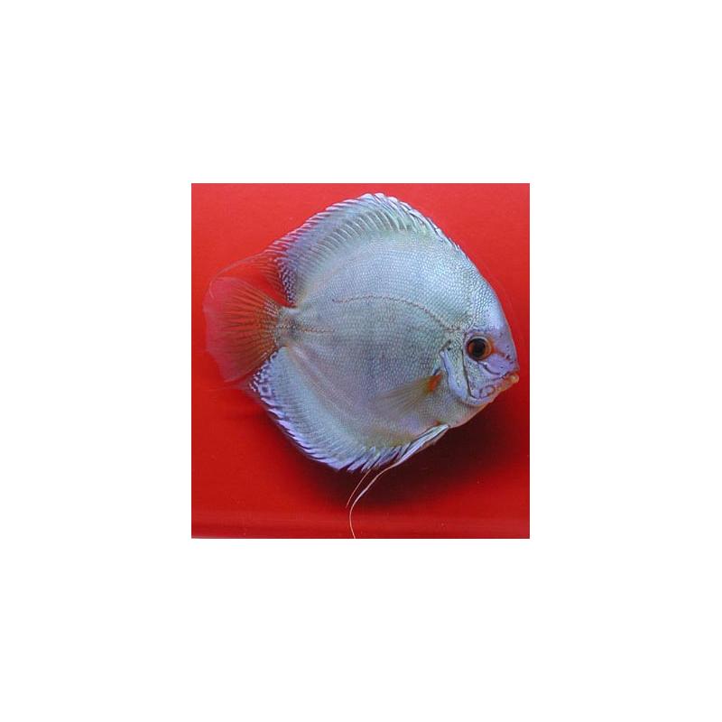 image: Symphysodon - Blue Diamond (STENDKER)!!! 6,5 cm