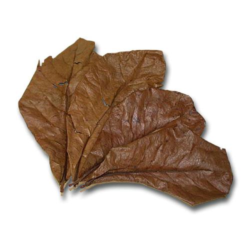 Terminalia Catappa - Mandulalevél (tebanglevél) / csomag (5 levél)