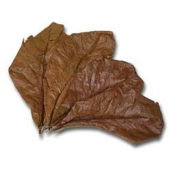 image: Terminalia Catappa - Mandulalevél (tebanglevél) / csomag (5 levél)