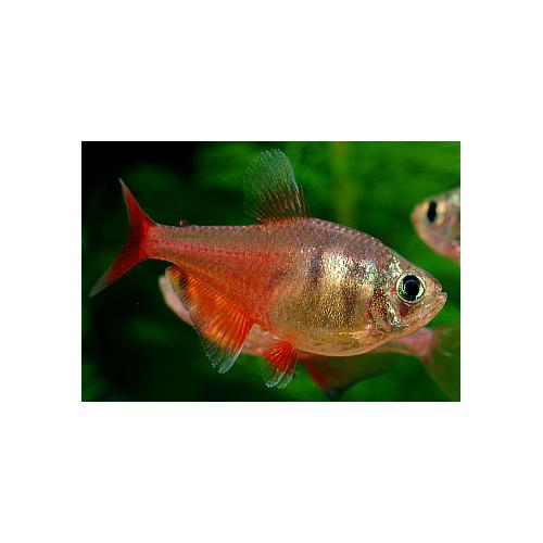 Hyphessobrycon flammeus - Lángvörös pontylazac