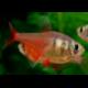 image: Hyphessobrycon flammeus - Lángvörös pontylazac
