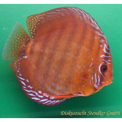 image: Symphysodon - Santarem (STENDKER)!!! 6,5 cm