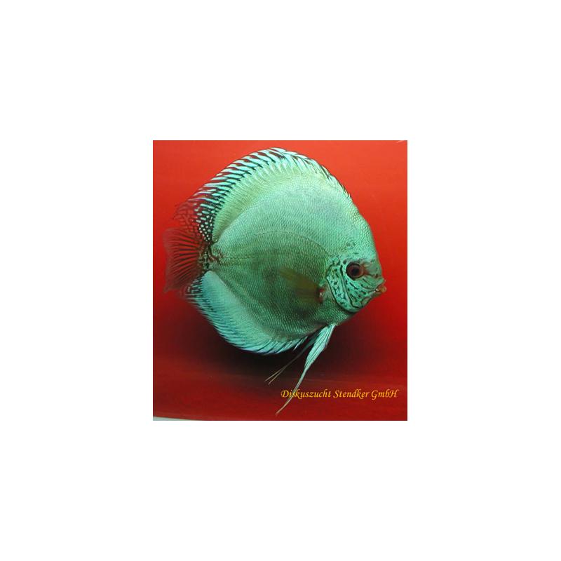 image: Symphysodon - Solid türkiz (STENDKER)!!! 6,5 cm