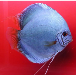 image: Symphysodon - Kobalt (STENDKER)!!! 6,5 cm