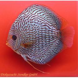 image: Symphysodon - Snake Skin Blue (STENDKER)!!! 6,5 cm