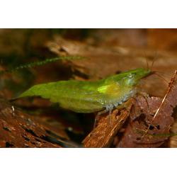 "image: Caridina cf. babaulti ""Green"" - Zöld garnéla"