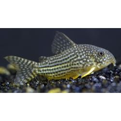 image: Corydoras sterbai XL