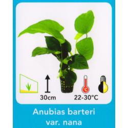image: Anubias barteri var. nana