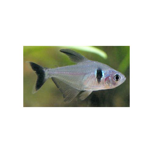 Hyphessobrycon megalopterus - Fekete fantomlazac