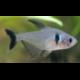image: Hyphessobrycon megalopterus - Fekete fantomlazac