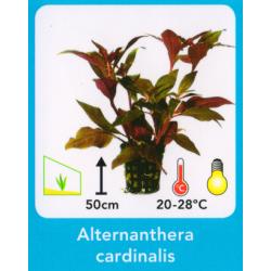 image: Alternanthera cardinalis