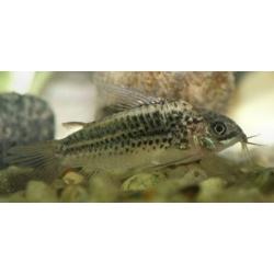 image: Corydoras elegans