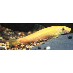 image: Gyrinocheilus aymonieri - Arany aymonieri