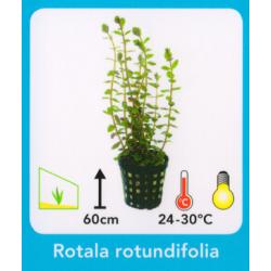 image: Rotala rotundifolia