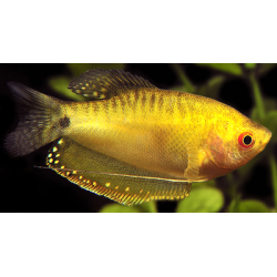 image: Trichogaster sp. - Arany gurámi