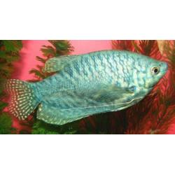 image: Trichogaster sp. - Márvány gurámi