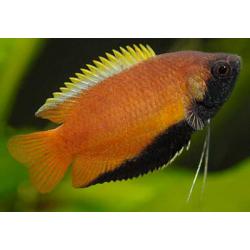 image: Trichogaster chuna - Méz gurámi