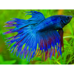 image: Betta splendens sp. - Koronás betta (hím)