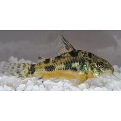 image: Corydoras paleatus