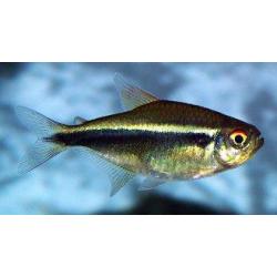 image: Hyphessobrycon herbertaxelrodi - Fekete neon