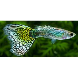 image: Poecilia reticulata - Guppy