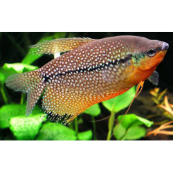 image: Trichogaster leeri - Gyöngygurámi