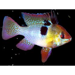 image: Microgeophagus ramirezi - Pillangó tarkasügér