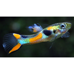 image: Poecilia sp. - Endler guppy