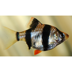 image: Puntius tetrazona - Szumátrai díszmárna
