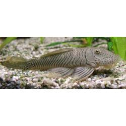 L187b - Chaetostoma cf. thomsoni - Bulldog pleco