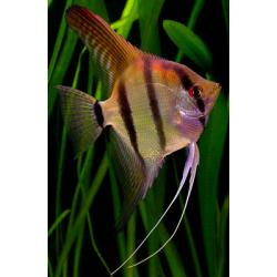 image: Pterophyllum scalare - Vitorláshal