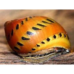 image: Neritina sp. - Hagymacsiga