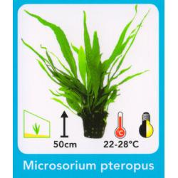 Microsorium pteropus - Lándzsás vízipáfrány